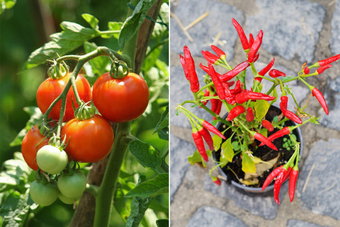 03. tomat-chili