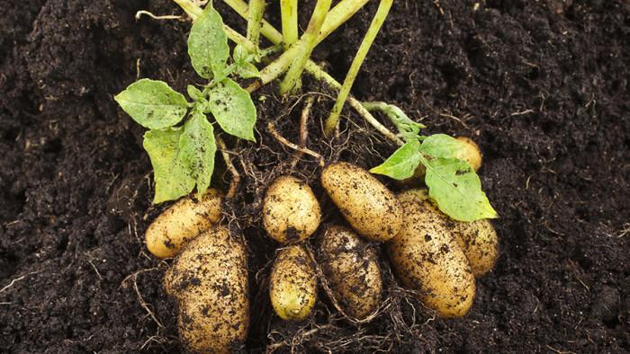 odla-potatis-balkong