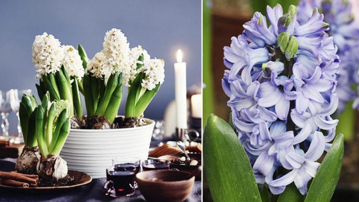 hyacint-skotseltips