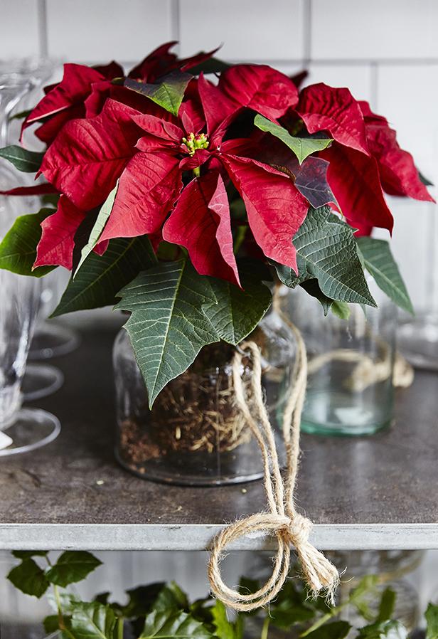 julstjarna-dekorera-rotsystem