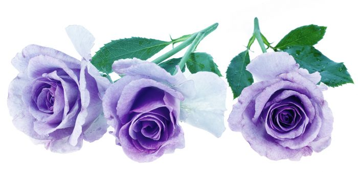 lila-rosor-betydelse