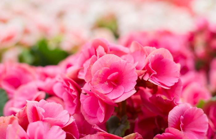 Rosa begonior