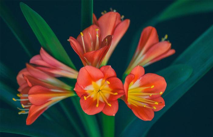 Clivia, orange blommor.