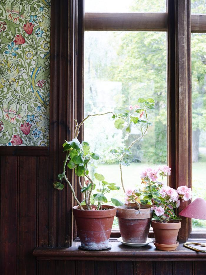 fönster med pelargoner
