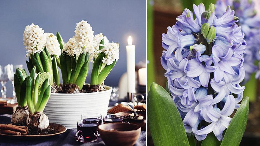 4 tips som håller hyacinten fin hela julen