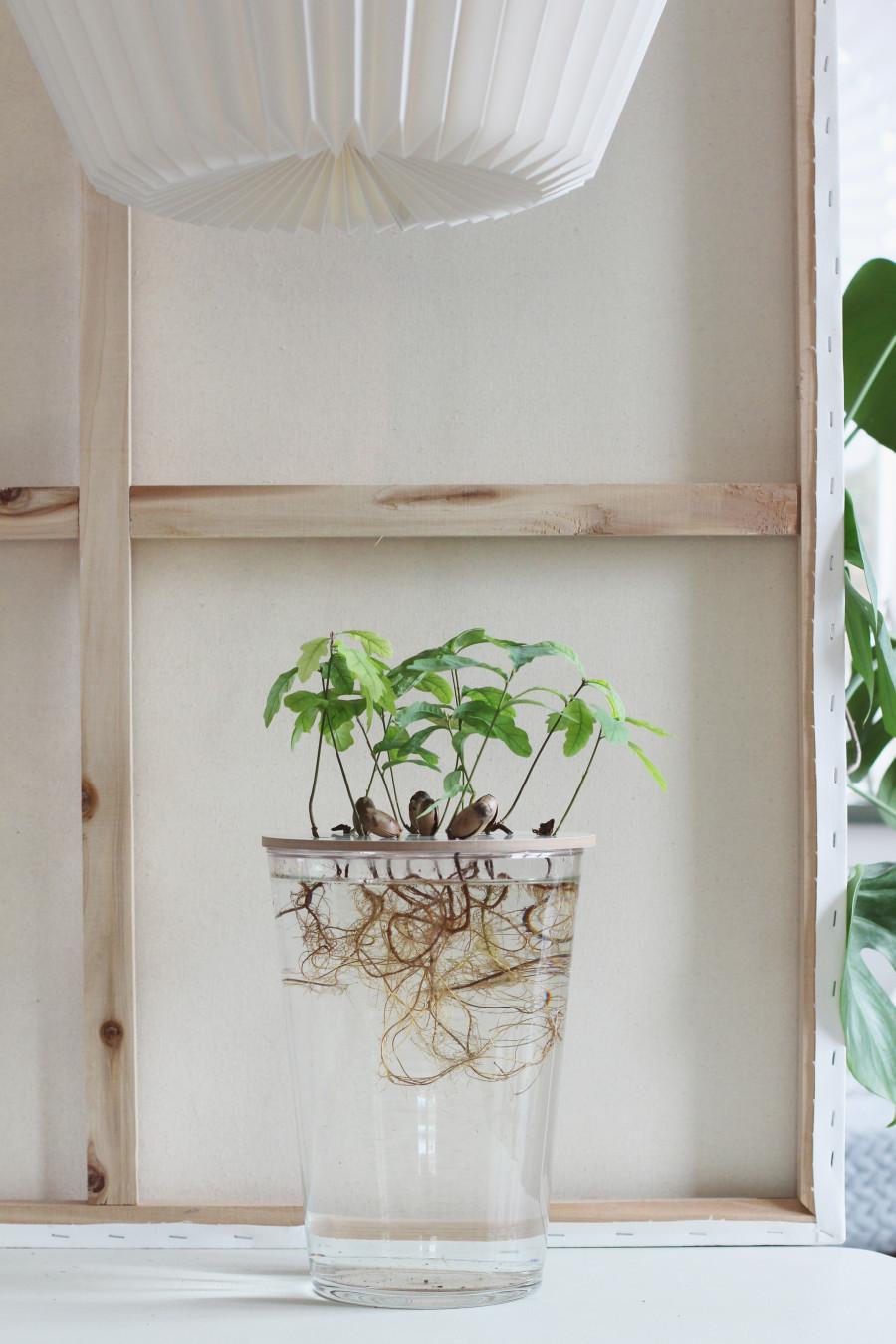 growing oaks odla ek hejregina2