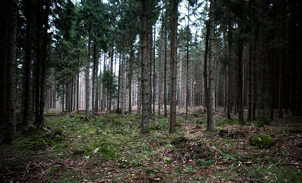 Granhuggning tradition skog