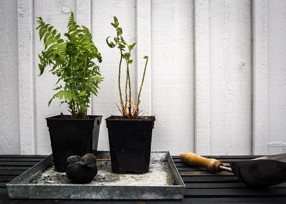 Daniella´s trädgård -omplantering i kruka_ormbunke