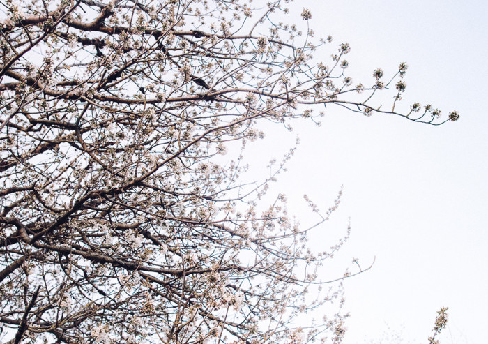 1 Maj_körsbärsblom