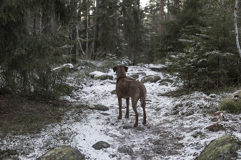 strenghielm_dog_n_woods.3