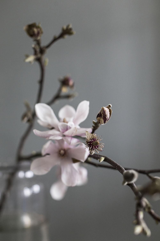 strenghielm_magnolia.2