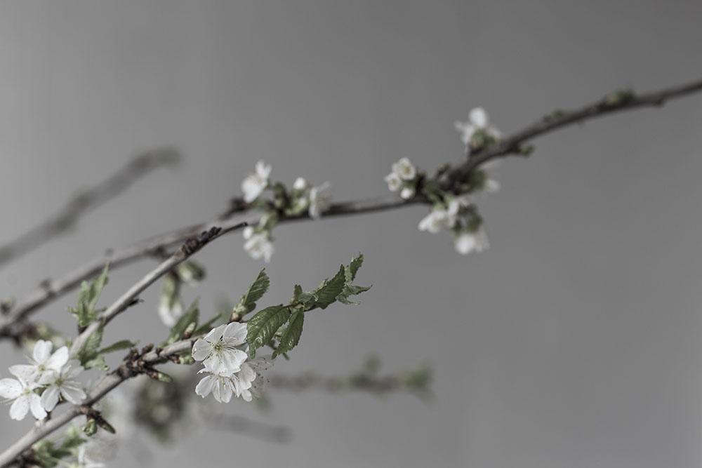strenghielm_blossom.5