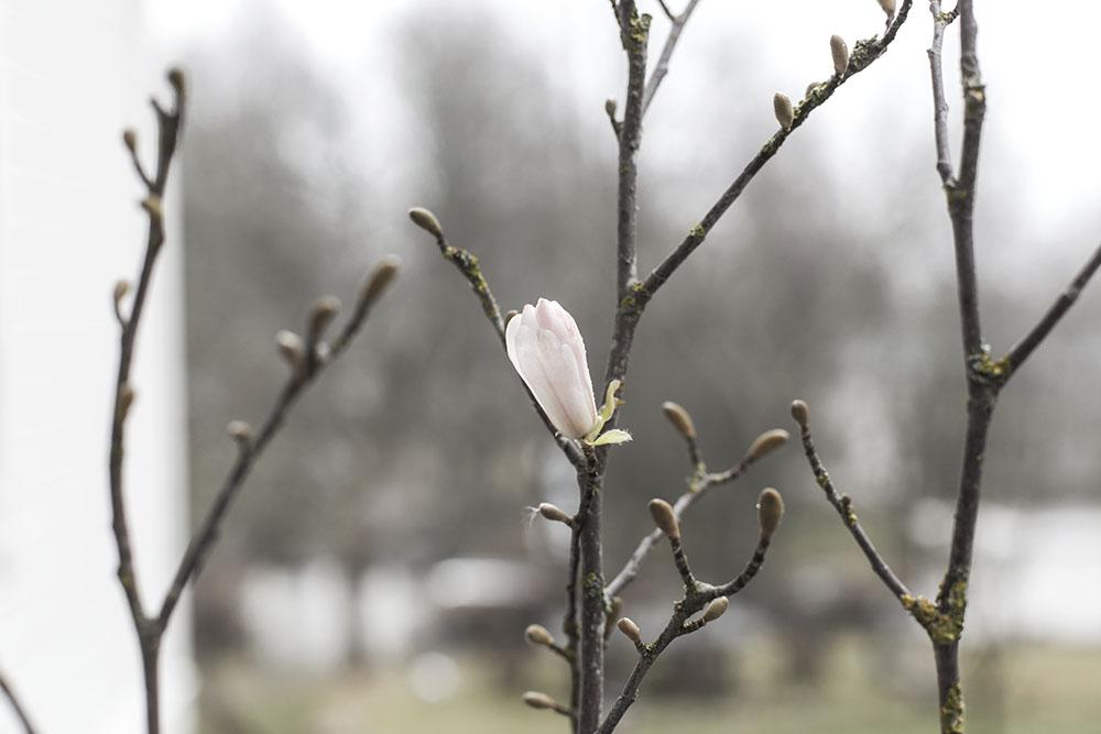 strenghielm_magnolia.4